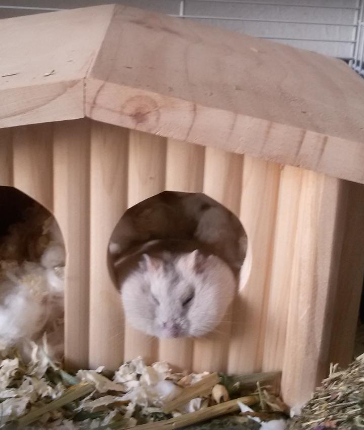 hamster Zoey ligt lekker te slapen in haar villa